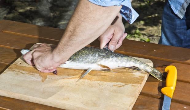 2.Keera nuga ümber, suunaga kala saba poole ja tee üks pikk lõige piki kala selgroogu, lõigates läbi ribid. Katsu seejuures mitte lõigata sappi. Foto: Aivar Kullamaa.
