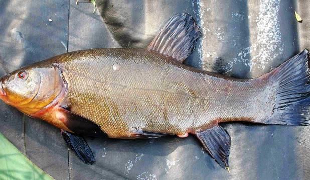 KORRALIK TÜKK. Õisu järve keskelt tabatud 1,3-kilone linask. Foto: Maidu Silm.