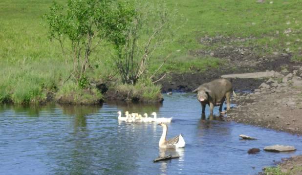 Külatänavail ja veekogudes saavad üheskoos elatud haned ja sead, hobused ja lehmad, lambad ja kitsed. Foto: Tarmo Tuule.