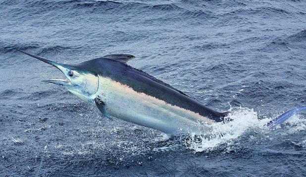 KIIRUSEKUNINGAS. Maailma kirjandusklassikast tuntud must marliin ei ole mitte ainult suur, vaid ka ülikiire kala.