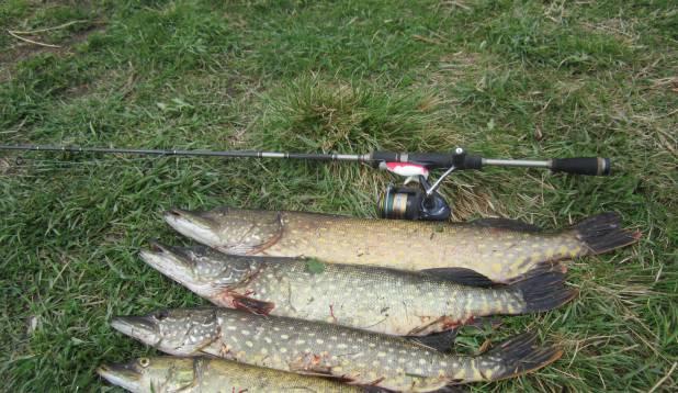 """ÜLO TORIM: """"06.09.2014 püütud haugid. Kõige suurem kala 2,8 kg. Püügikoht Pedja jõgi. Abiks oli Salmo rull Diamond Bullet 5325FD."""""""