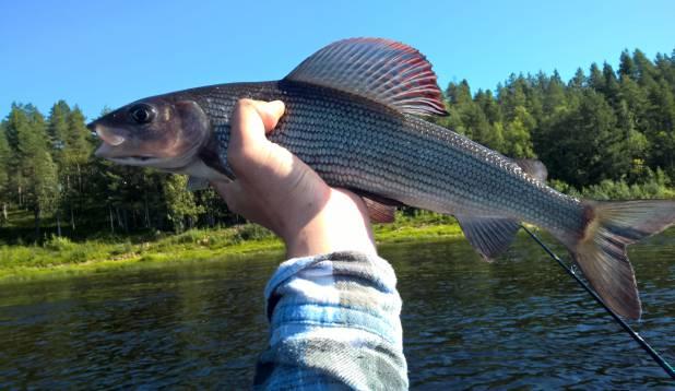 Tornio jõel lõhet otsimas (kuues päev)