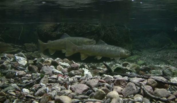 Vaata kudevaid jõeforelle kalakaamerast!
