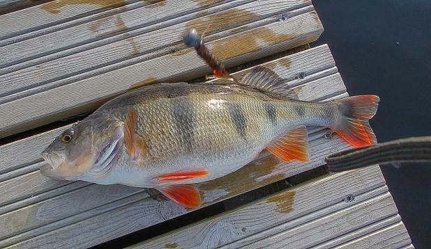 Elukala Viljandi järvest: 1,37 kg