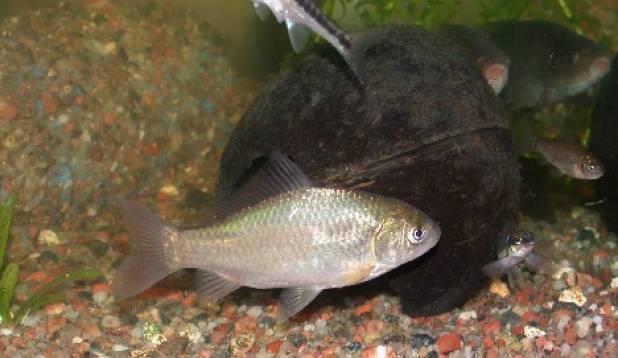 Minu akvaariumi Eestimaised kalad :D