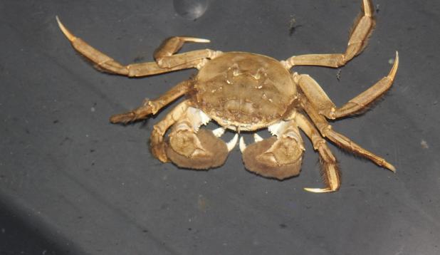 villkäpp krabi