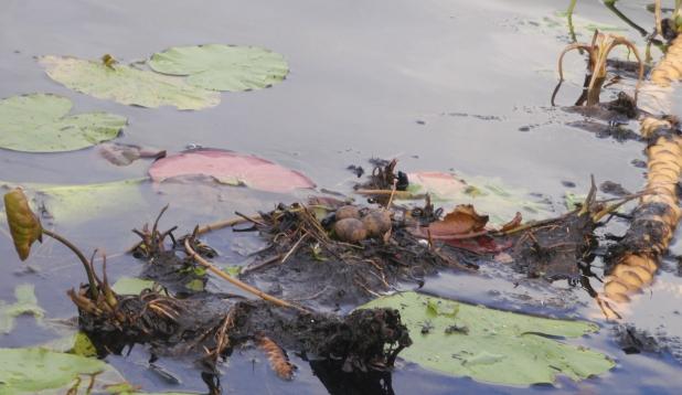 Tiiru pesa järvel.