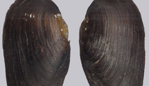 Ebapärlikarp. Foto: Wikimedia
