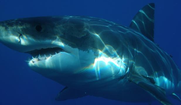 Suur-valgehai ehk mõrtsukhai. Foto: Pixabay